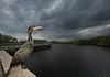 Cormorant and Big Everglades Sky