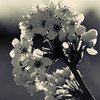 Apple_Blossom_BW
