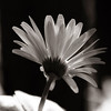 Sun_Kissed_Daisy_BW