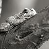 Grey_Tree_Frog_S