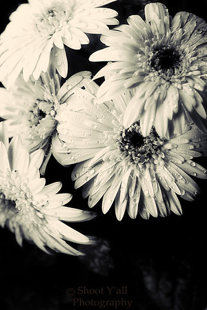 Rain_on_the_Daisy_BW