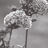 Snowball_Tree_BW