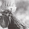 Rooster_Crow_BW