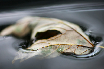 Leaf floating in a birdbath