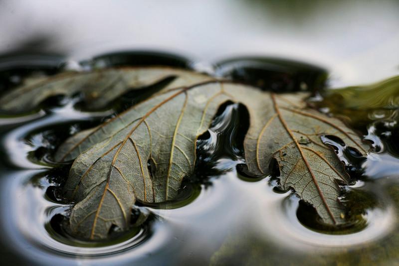 Leaf floating in a birdbath