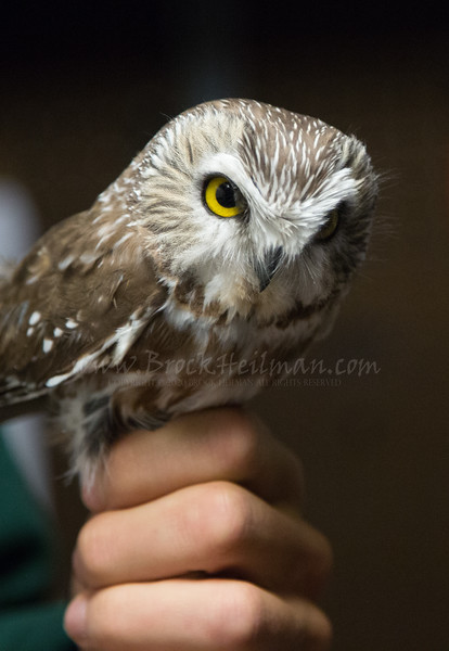 Saw-Whet Owl. Captured, banded, and released.