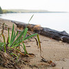 Wild Iris on Whitefish Bay