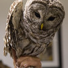 Barred Owl. Captured, banded, and released.