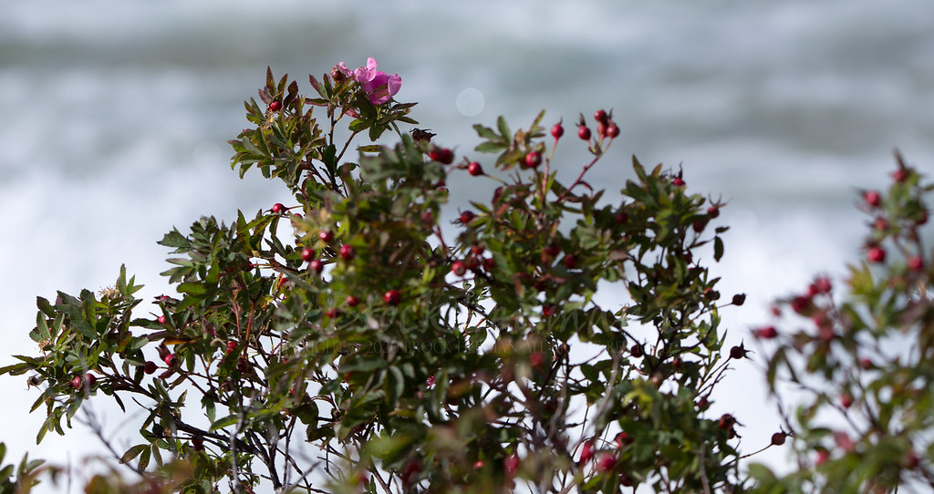 Roses blooming, the end of Sept. on Crisp Point