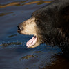 captive black bear