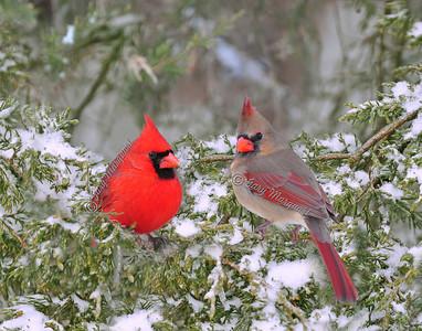Cardinal 056/074