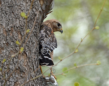 Red-Shouldered Hawk - 0107