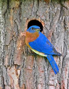 Bluebird 231