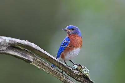 Eastern Bluebird 033