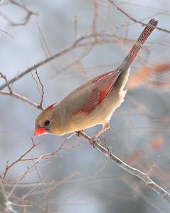 Cardinal 0633