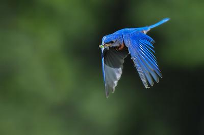 Bluebird 0415