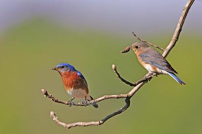 Bluebirds 0445