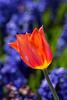 Tilting Tulip