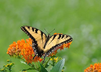 Tiger Swallowtail 0111
