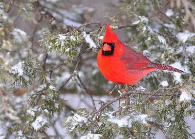 Cardinal 431