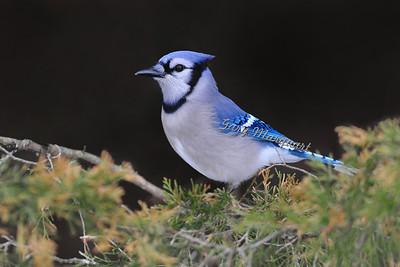 Blue Jay 040