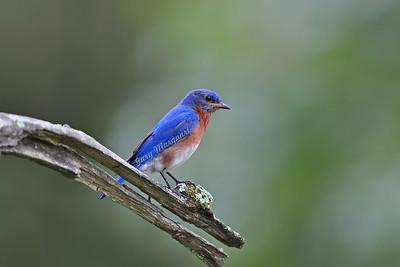 Eastern Bluebird 031