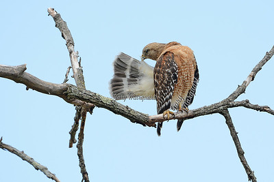Red-Shouldered Hawk 9861