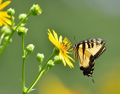 Butterfly 505