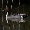 Northern Pintail, Davis Wetlands