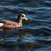 American Wigeon, Lake Solano