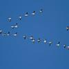 Snow Goose, Davis Wetlands