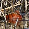 Cinnamon Teal, Davis Wetlands