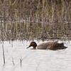 Green-winged Teal, Yolo Bypass Wildlife Area