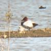 Canvasback, Davis Wetlands