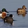 Northern Shoveler (and Am. Coot), Davis Wetlands