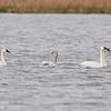 Tundra Swan, Conaway Ranch, Yolo Co. (road to Davis Wetlands)