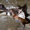 Ring-necked Duck, Davis Wetlands