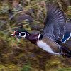 Wood Duck, Sailor Bar on the American River