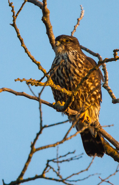 Taken Feb 23, 2013, on Oeste Dr. just off W. 8th in Davis, CA.This individual appears to have nearer the Black Merlin (suckleyi) characteristics than Taiga (columbarius), but experts have agreed that we cannot assign all individual birds to subspecies. The lighting was difficult and processing may make it look too dark; it was a brown (female) bird.