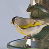 Taken through a window! Lawrence's Goldfinch at feeder in Fort Bragg, CA, on May 11 2012.