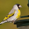 Lawrence's Goldfinch, May 11, 2012 in Fort Bragg CA.