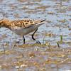 Little Stint, July 15, 2011, Davis Wetlands, Yolo Co.  found by Todd Easterla