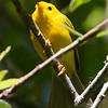 Wilson's Warbler, adult male