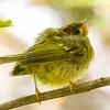 Wilson's Warbler, juvenile