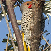 Northern Flicker, intergrade