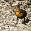 Yellow-headed Blackbird, female or possibly a young male.
