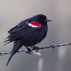Tricolored Blackbird, early morning on Highway 20.