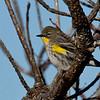 Yellow-rumper Warbler