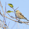 American Goldfinch, winter