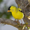 American Goldfinch, breeding